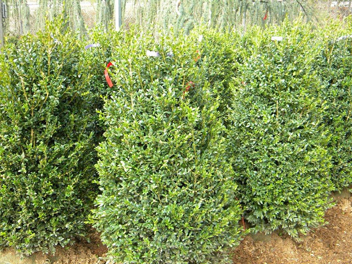 BUXUS NEWPORT BLUE 42 and 48